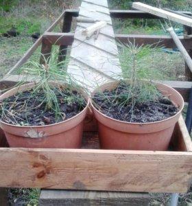 Саженцы вечнозелёных растений.