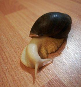 Ахатина Фулика альбино боди