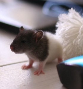 Крыса капюшоновая, остались две девочки 1,5 м.