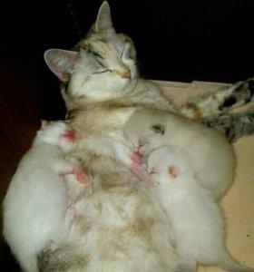 Котята в добрые руки от красивых и умных родителей