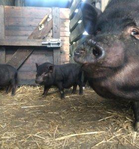 Мясо говядины и свинины