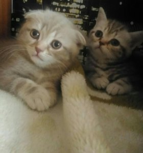 Котята-вислоушки