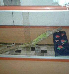 Игуана зеленая продам