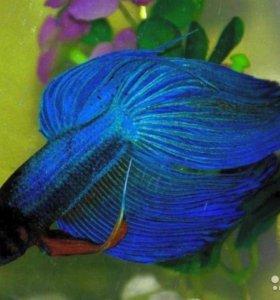 Петушок (самец) Синева