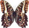 Яркие Живые Бабочки из Чили Атакус