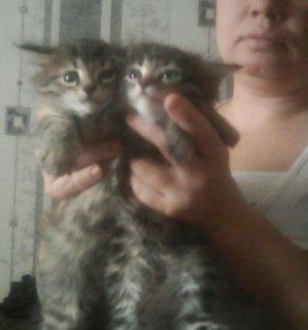 Отдам котят в хорошие руки от сибирской кошки