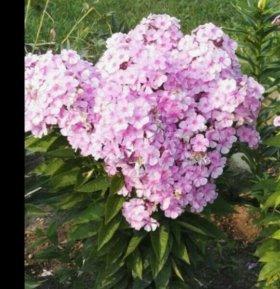 Флокс, цветы в сад.