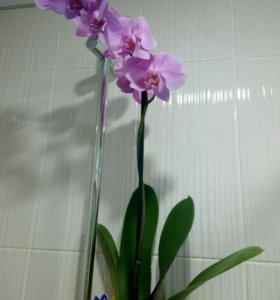 Орхидеи в наличии и под заказ с доставкой
