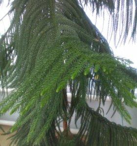 Комнатное растение Араукария
