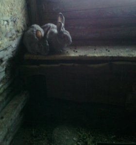 Кролики Фландр 3 месеца
