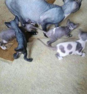 Готовятся к продаже котята канадского сфинкса.