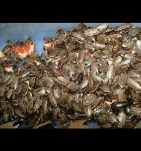 Мрамарные тараканы