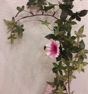 Ипомея вьюн розовая