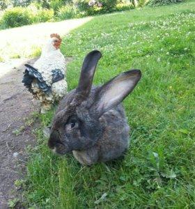 Кролики Ризины, Фландеры. Великаны.