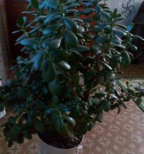 Цвет. Денежное дерево.