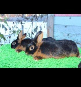 Кролики черноогненные