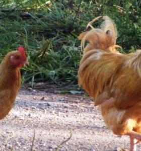 Курицы и петух