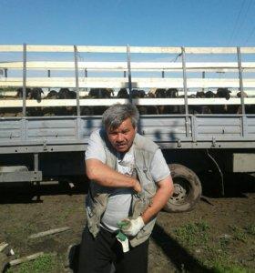 Сукотные овцематки и молодняк