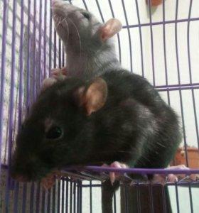 2 крыски,клетка,корм.