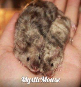 Сатиновые мыши из питомника СРОЧНО