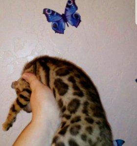 Бенгалы леопардовые гладкие шубки