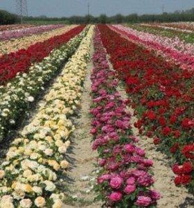 Розы для Вашего сада.