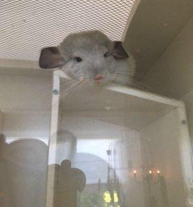 2 шиншиллы с витриной и клеткой
