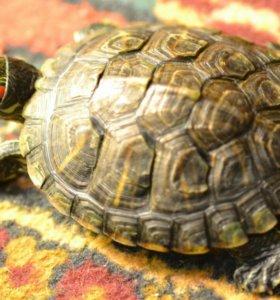 Продам черепаху(вместе с аквариумом и кормом)