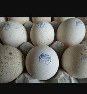 Интубационные яйцо индейка