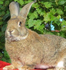 Кролики породы Фландер и помесь Фландер/Баран.