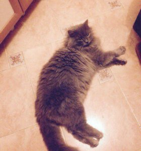 Отдадим шикарного взрослого кастрированного кота