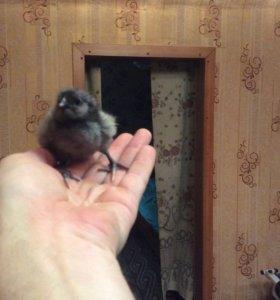 Цыплята Амераукана