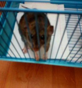 Крыска-муська