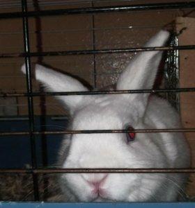 Декоративный кролик.Вязка.