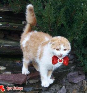 котята шотландские вислоухие