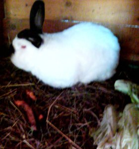 Самец кролика-калифорнийца