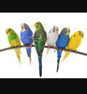 Волнистые попугайчики!