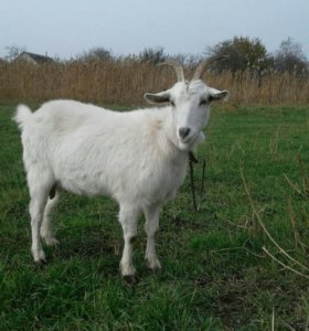 Коза и козлики