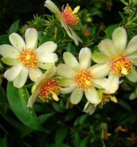 Переския лиственный кактус