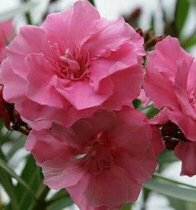 Олеандр розовый ,махровый