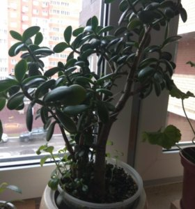 Красивое, молодое денежное дерево