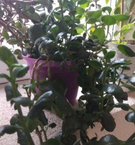 Шикарный цветущий коланхоэ