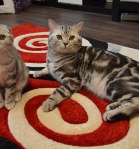 британский кот-вязка