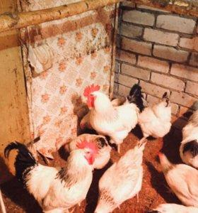петушки,яйцо инкубационное ,цыплята ,комбикорм