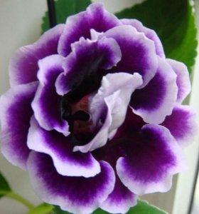 Глоксиния фиолетовая с белой каймой