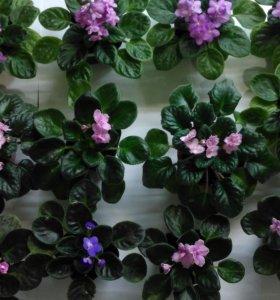 Продам цветущие фиалочки