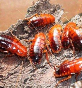 Туркменские тараканы, зоофобус