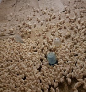 Срочна продается цыплята по8руб