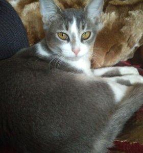 Пристрою тайско-абиссинских котят