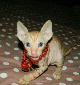 Котики корниш-рекс. Предварительный резерв